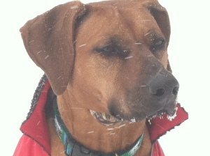 Rhodesian Ridgeback Puppy Breeder North Carolina NC